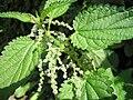 Urtica dioica (Blüten).jpg