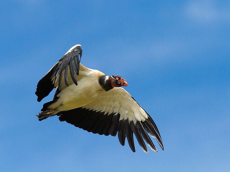 File:Urubu Rei voando.jpg