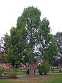 Urweltmammutbaum Burgsinn, 2.jpg