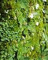 Utricularia striatula 17.JPG
