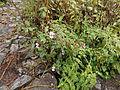 Valley of Flowers 06.JPG