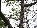 Vanda testacea (Lindl.) Rchb.f. (7260548530).jpg