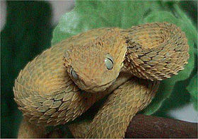Variable bush viper.jpg