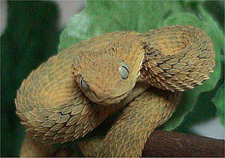 <i>Atheris squamigera</i> species of reptile