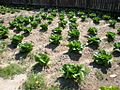 Vegetable garden at Colonial Williamsburg - Stierch.jpg