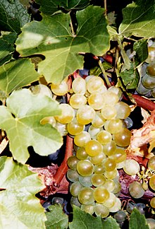A cluster of pale green-yellow grapes on the vine surrounded by grape leaves.