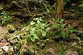 Veratrum album subsp. oxysepalum 21.jpg