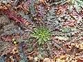 Verbascum blattaria 2017-09-29 5902.jpg