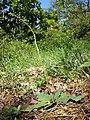 Verbascum phoeniceum sl15.jpg