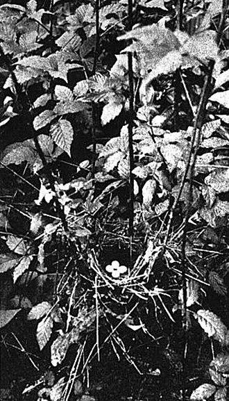 Bachman's warbler - Nest photographed in 1920