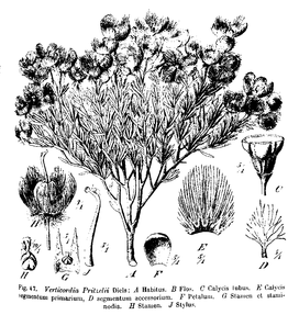 Verticordia Pritzel fig 47 (crop).png