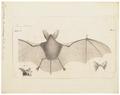 Vespertilio bechsteinii - 1700-1880 - Print - Iconographia Zoologica - Special Collections University of Amsterdam - UBA01 IZ20800191.tif