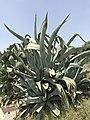 Via Valverde (Alghero) - cactus.JPG
