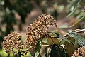 Viburnum rhytidophyllum Variegatum 1zz.jpg