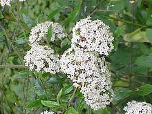 Fiori Bianchi A Palla.Viburnum Wikipedia