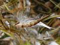Vincetoxicum rossicum 5452403.jpg