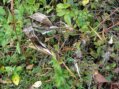 Vincetoxicum rossicum SCA-04847.jpg