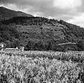 Vinogradi pri Šembidu (pod Nanosom) 1958.jpg