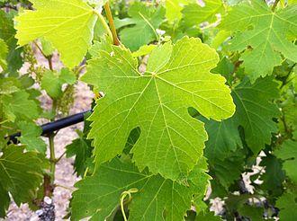 Viognier - Viognier leaf growing in Red Willow Vineyard in Washington State.