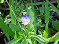 Viola arvensis Habito 2011-4-10 SierraMadrona.jpg