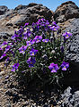 Viola palmensis.jpg