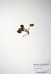 Viola selkirkii BW-1979-0430-0755.jpg