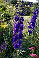 Violet delphinium cultivar at Boreham, Essex, England 1.jpg