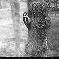 Vogels , grote bonte specht, Bestanddeelnr 193-0950.jpg