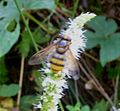Volucella inanis - Flickr - gailhampshire (9).jpg
