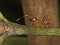 Waever ant from Java (6660594025).jpg
