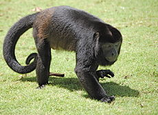 Walking Alouatta palliata, Costa Rica.JPG