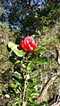 Waratah flower (Telopea speciosissima).jpg