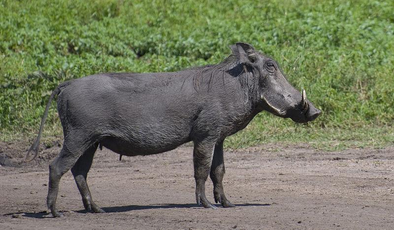 File:Warthog, Masai Mara.jpg