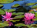 Water Lily (35048857954).jpg