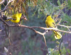 Waterberg Biosphere - Male and female Black-headed orioles in courtship ritual, riparian zone of central Waterberg, South Africa