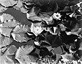Waterlelies, Bestanddeelnr 252-1421.jpg