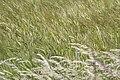 Wavy Fields of... (3980483294).jpg