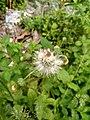 Wayanadan-random-flowers IMG 20180524 095802 HDR (40569759560).jpg