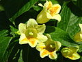 Weigela middendorffiana flowers 05.JPG