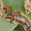 Welwitschia mirabilis-IMG 3428.jpg