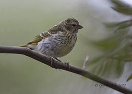 White-bellied Canary.jpg