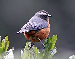 White-browed Conebill (Conirostrum ferrugineiventre).jpg
