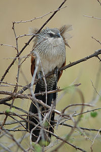 White-browed Coucal.jpg