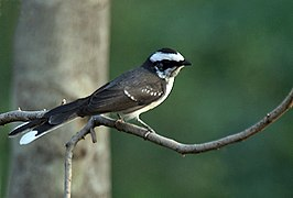 White-browed Fantail (Rhipidura aureola) at Sindhrot near Vadodara, Gujrat Pix 225.jpg