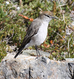 White-browed Ground-tyrant.jpg