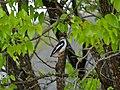 White-crested Helmetshrike (Prionops plumatus) looking for food (11626155213).jpg