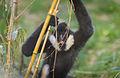 White Cheeked Gibbon (8154284343).jpg