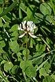 White Clover (Trifolium repens) - Oslo, Norway 2020-08-12.jpg