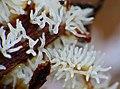 White Coral Slime Mold (Ceratiomyxa fruticulosa) found under bark (14155602646).jpg