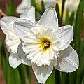 White Daffodil (17763247899).jpg